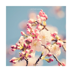 Cherry Blossom 7 © 2014 Jenn Lin Photography