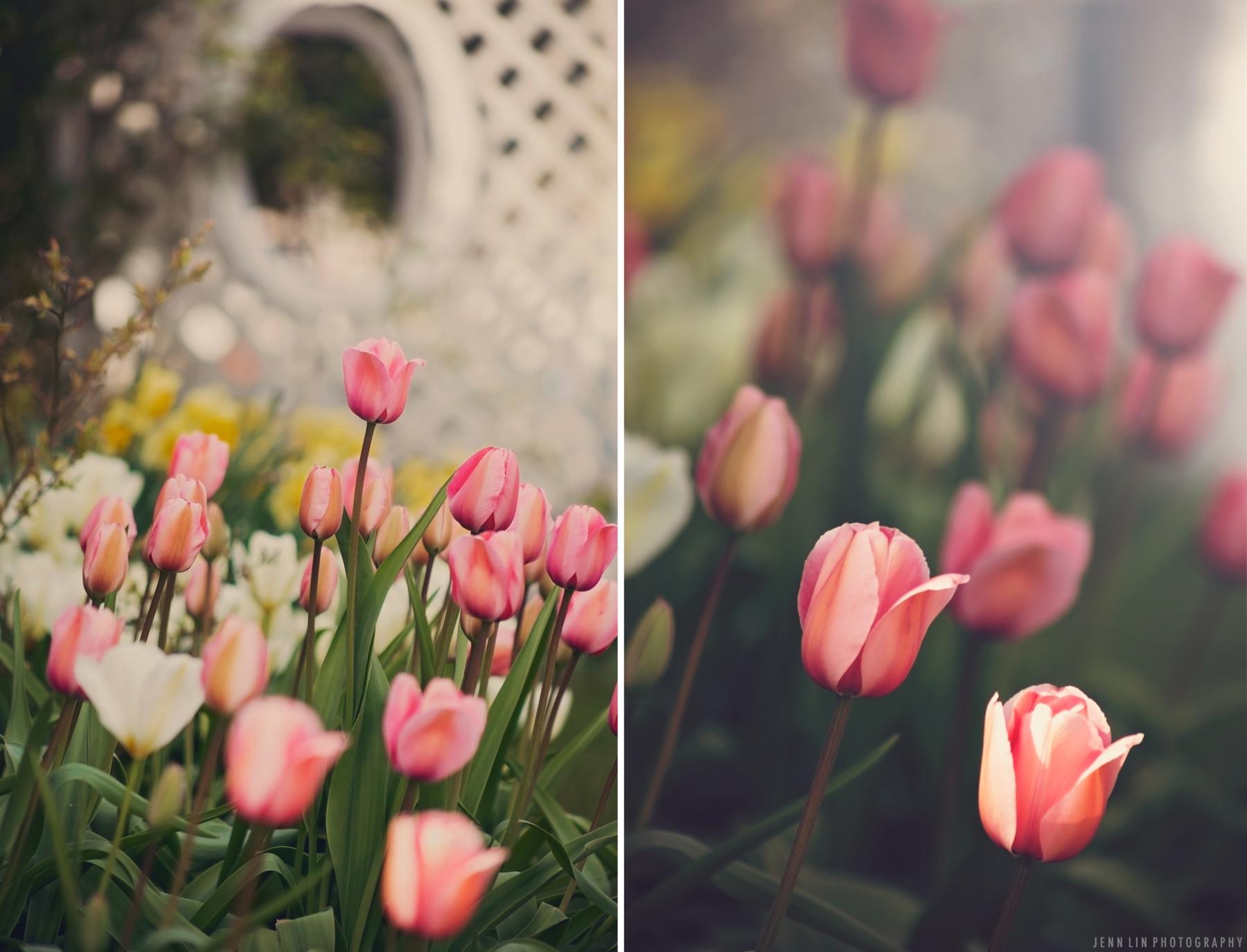 tulips, pink, orange, garden, spring, springtime, vancouver, bc